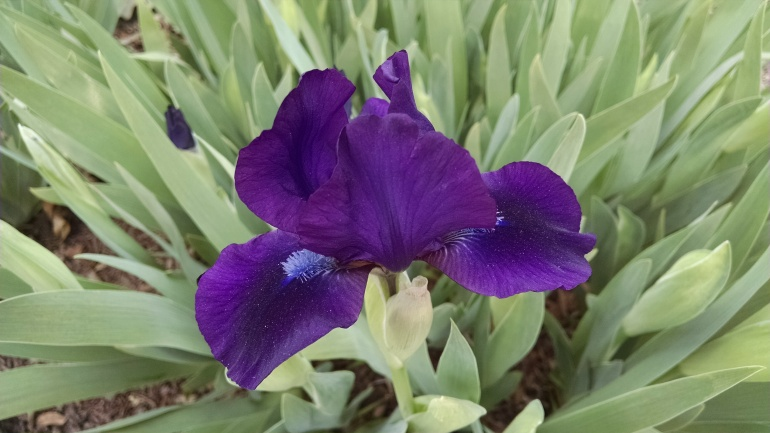 Iris_1[1]