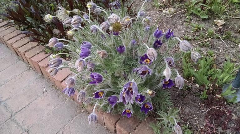 Purple Fuzzy Flower