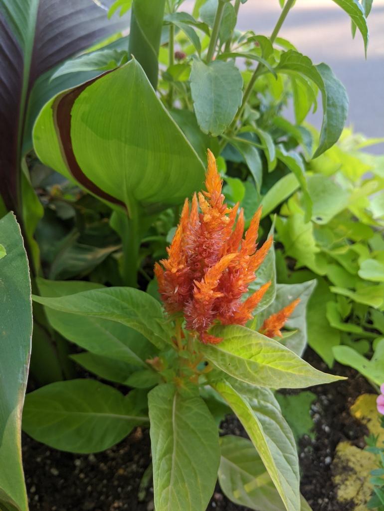 Orange Flower 2020 2