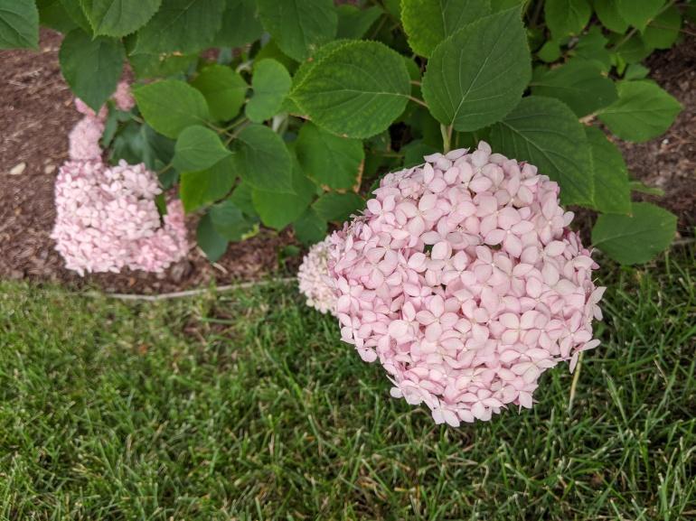 Pink Flower 2020