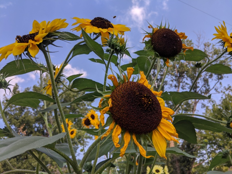 Crazy Sunflowers 2020